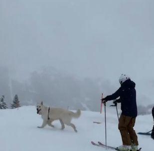 Pies-narciarz