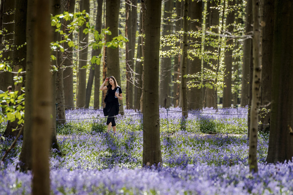 Hiacyntowiec podczas kwitnienia w belgijskim lesie