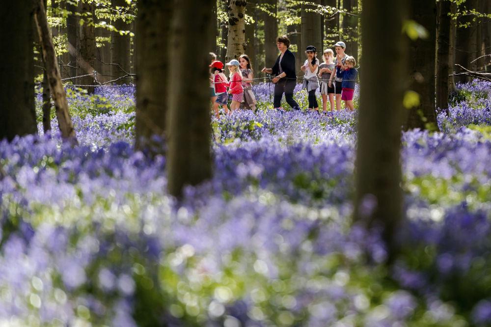 Dzieci w belgijskim lesie podczas kwitnienia hiacyntowca