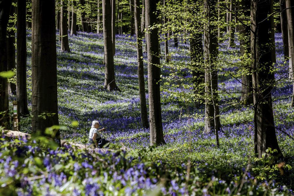 Hiacyntowiec podczas kwitnienia w belgijskim lesie Hallerbos
