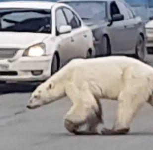 Niedźwiedź na mieście