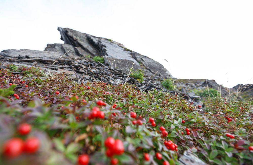 Żurawina u podnóża skał Przylądka Kekurskiego w obwodzie murmańskim