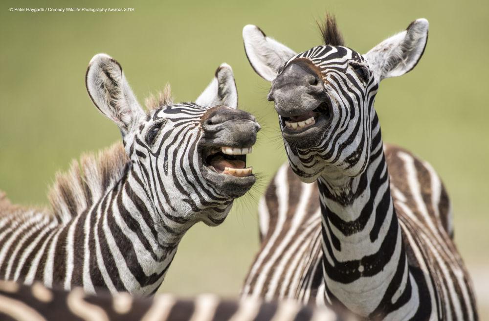 Śmiejące się zebry w Tanzanii