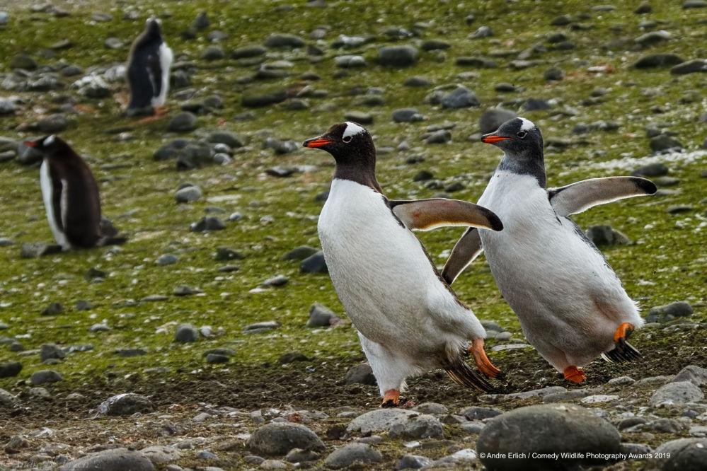 Czy te pingwiny ćwiczą jakiś układ choreograficzny?