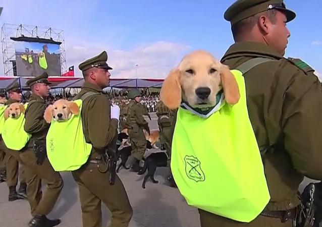 Psy policjanci