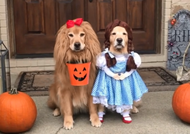 Psy rasy golden retriever w kostiumach
