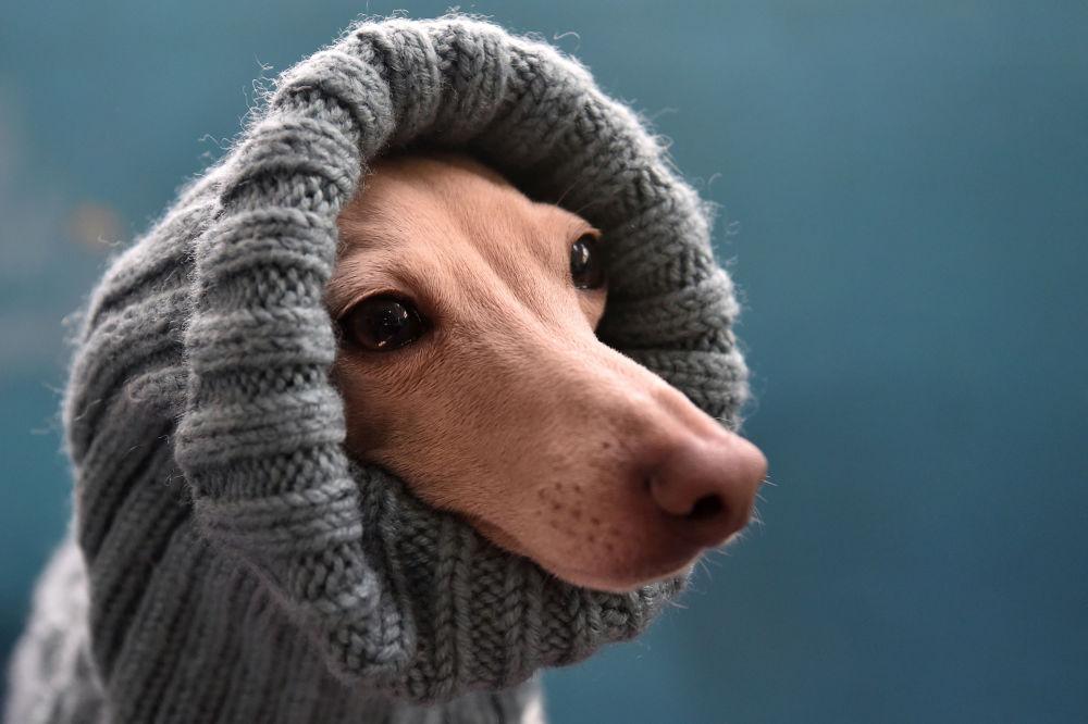 Charcik włoski na wystawie psów w Biszkeku