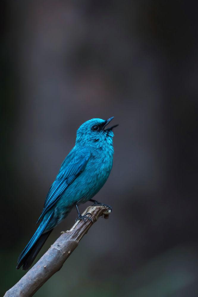 """Zdjęcie """"Verditer flycatcher"""". Wykonał je fotograf z Indii Mitesh Patel w ramach konkursu fotograficznego World's Best Photos of #Blue2019"""