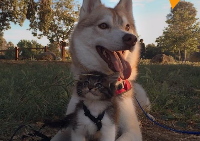 """Husky wychował kociaka na """"dobrego psa"""""""