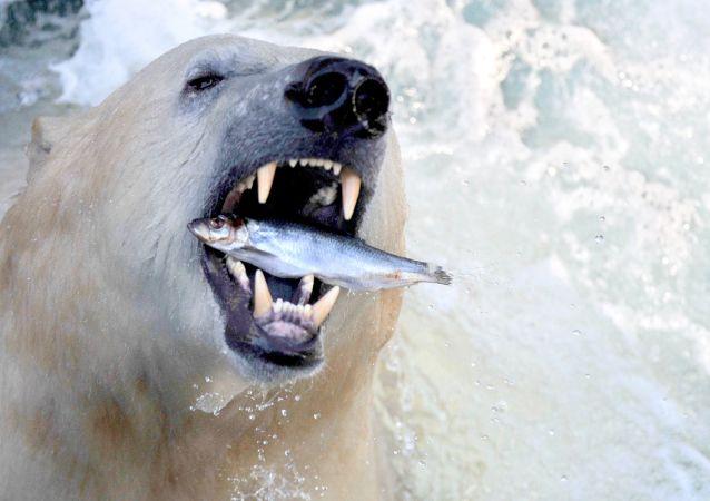Niedźwiedź polarny w zoo w Hanowerze