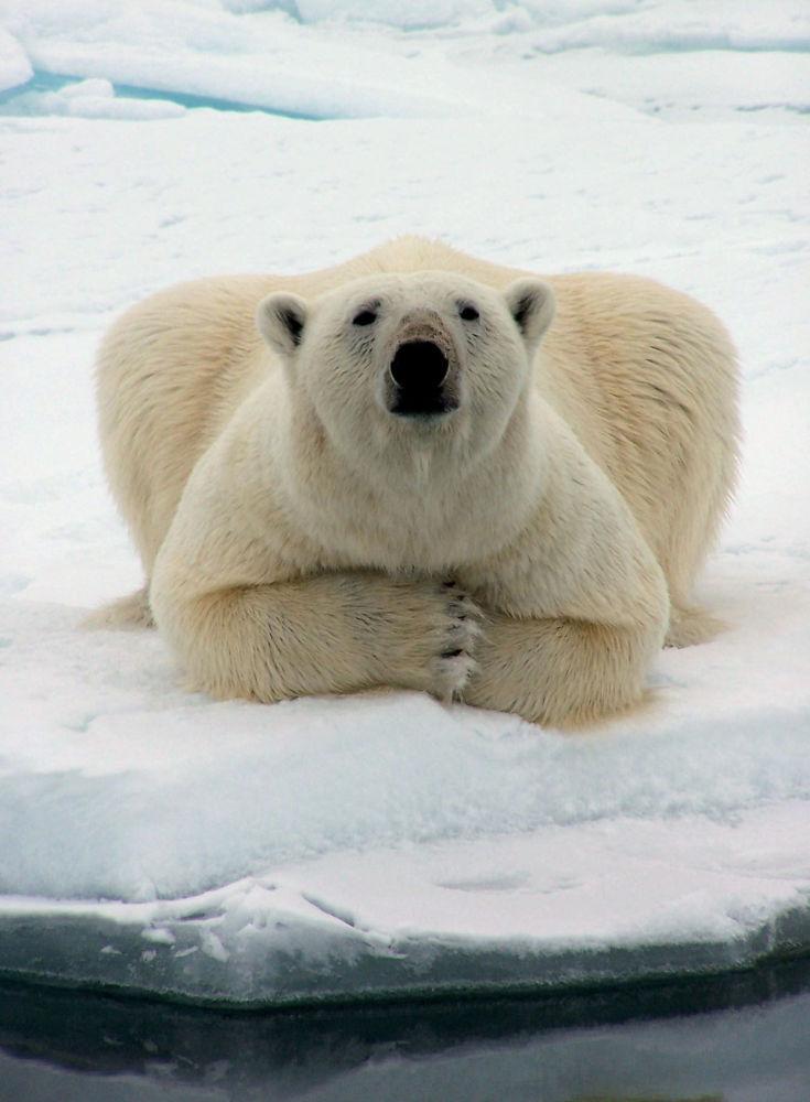 Niedźwiedź polarny, Alaska