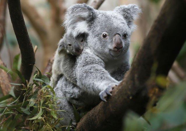 Australijskie władze w tajemnicy zabijały koale
