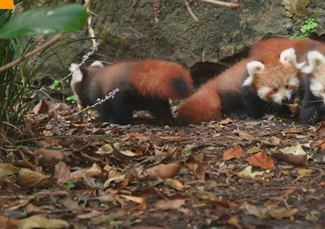 Czerwone pandy