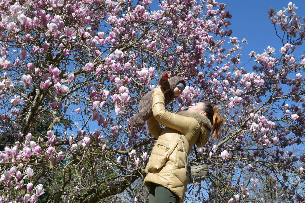 Kwitnące magnolie