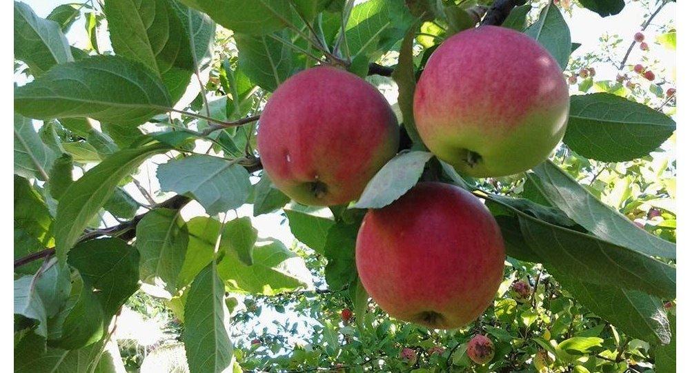 Jabłka, obwód Twerski, Rosja