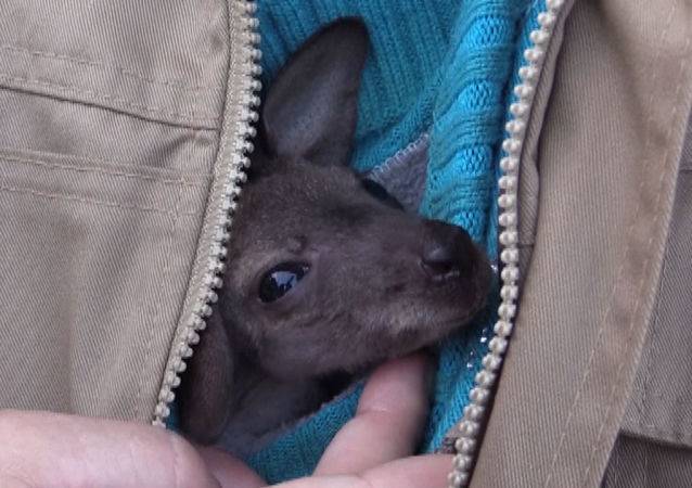 Mama dla kangura