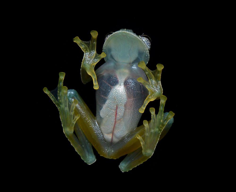 Żaba szklana