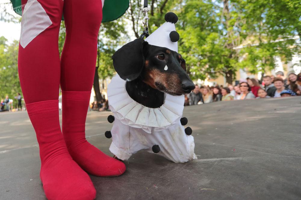 Jamnik Pierrot