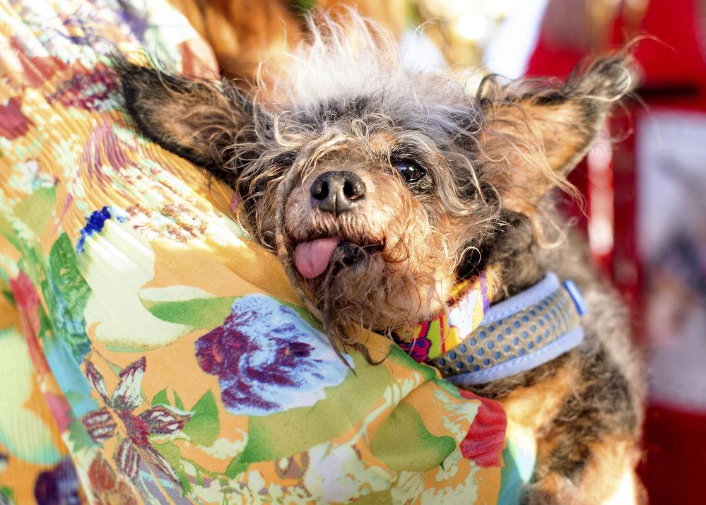 Scamp the Tramp - najbrzydszy pies świata 2019