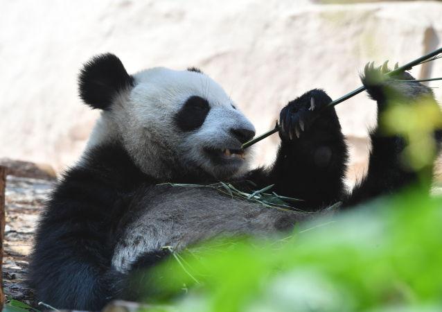 """Panda wielka, przekazana przez Chiny do Ogrodu Zoologicznego w Moskwie, w pawilonie """"Fauna Chin""""."""