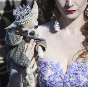 Zwyciężczyni konkursu piękności Złota korona Rosji Olga Miller i jej chihuahua.