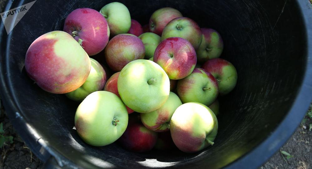 Zbiory letnich odmian jabłek w Krasnodarskim Kraju