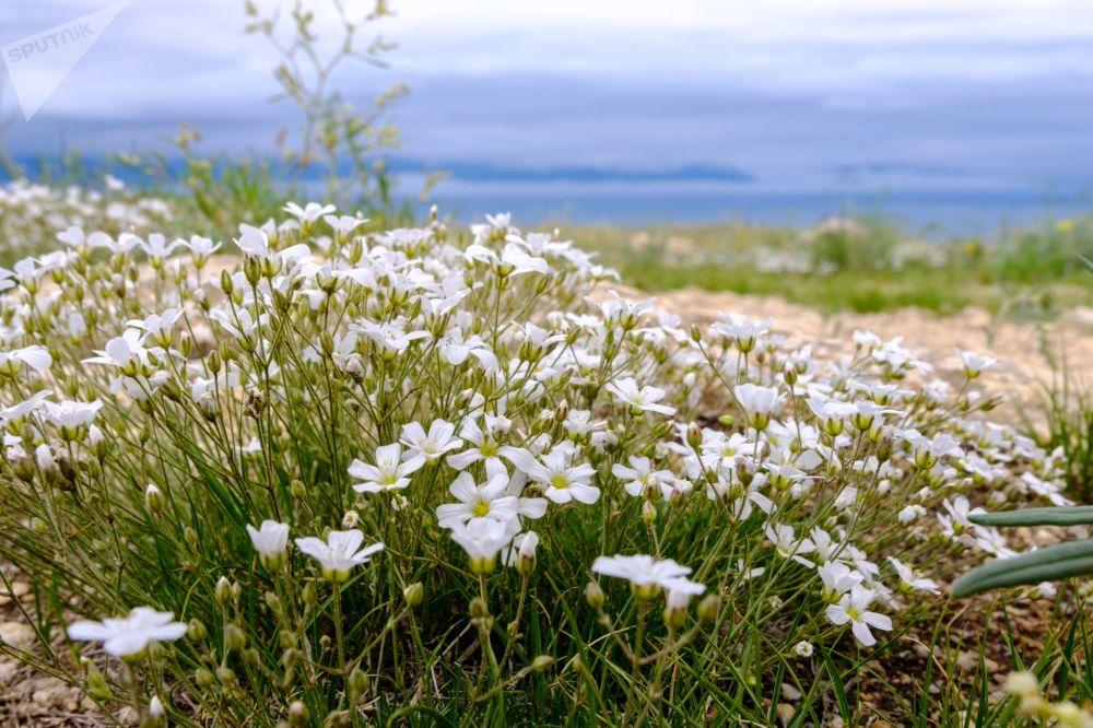 Kwiaty rosnące na wyspie Olchon na jeziorze Bajkał w obwodzie irkuckim.
