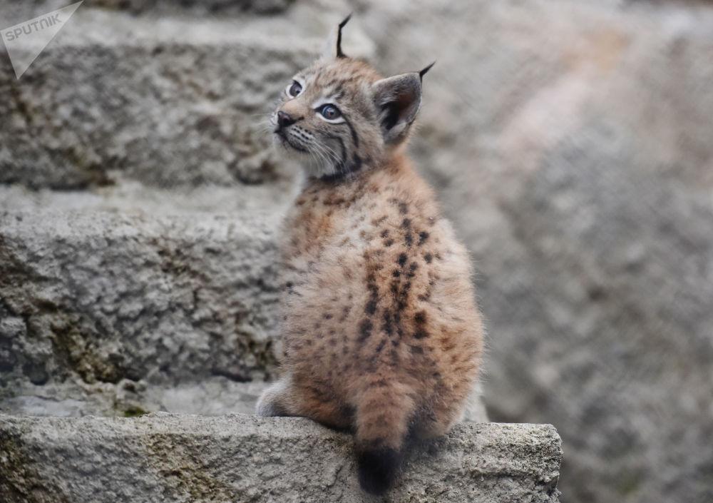 Rysiątko w moskiewskim zoo