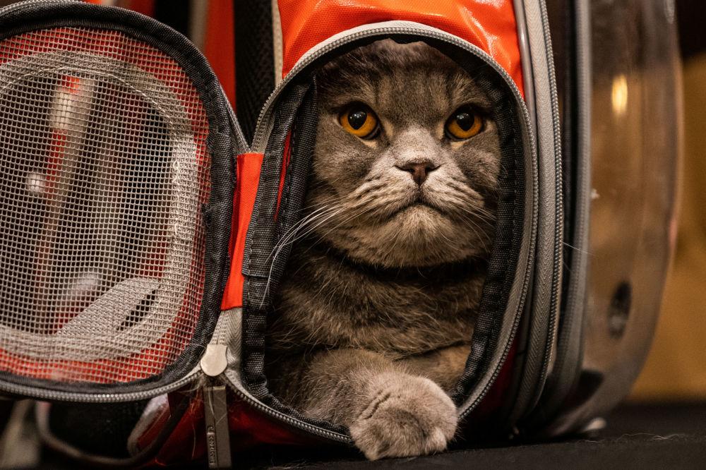 Kot Thunder Folds przed rozpoczęciem pokazu mody Algonquin Hotel's Annual Cat Fashion Show w Nowym Jorku