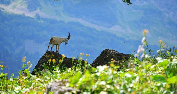 Kozioł górski w Reliktowym Parku Narodowym w Abchazji