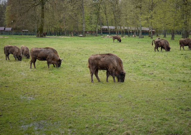 żubry na terytorium Puszczy Białowieskiej