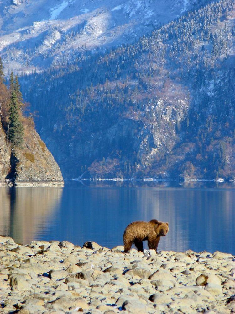 Niedźwiedź brunatny w USA