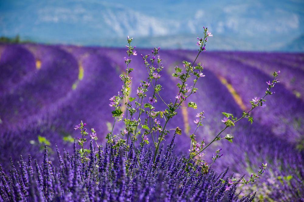 Ławendowe pola we Francji