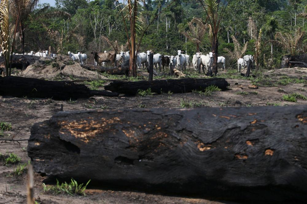 Krowy w pobliżu spalonych drzew w lesie państwowym Jamansim w dorzeczu Amazonki w pobliżu Novo Progresso, Para, Brazylia.