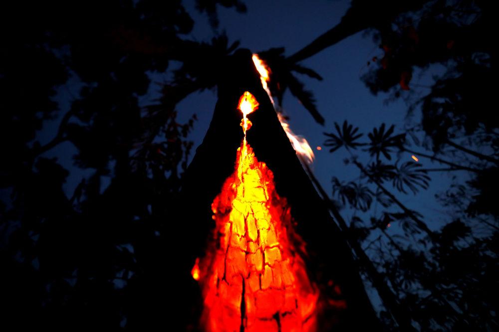 Tlące się drzewo w lasach Amazonki w Brazylii.