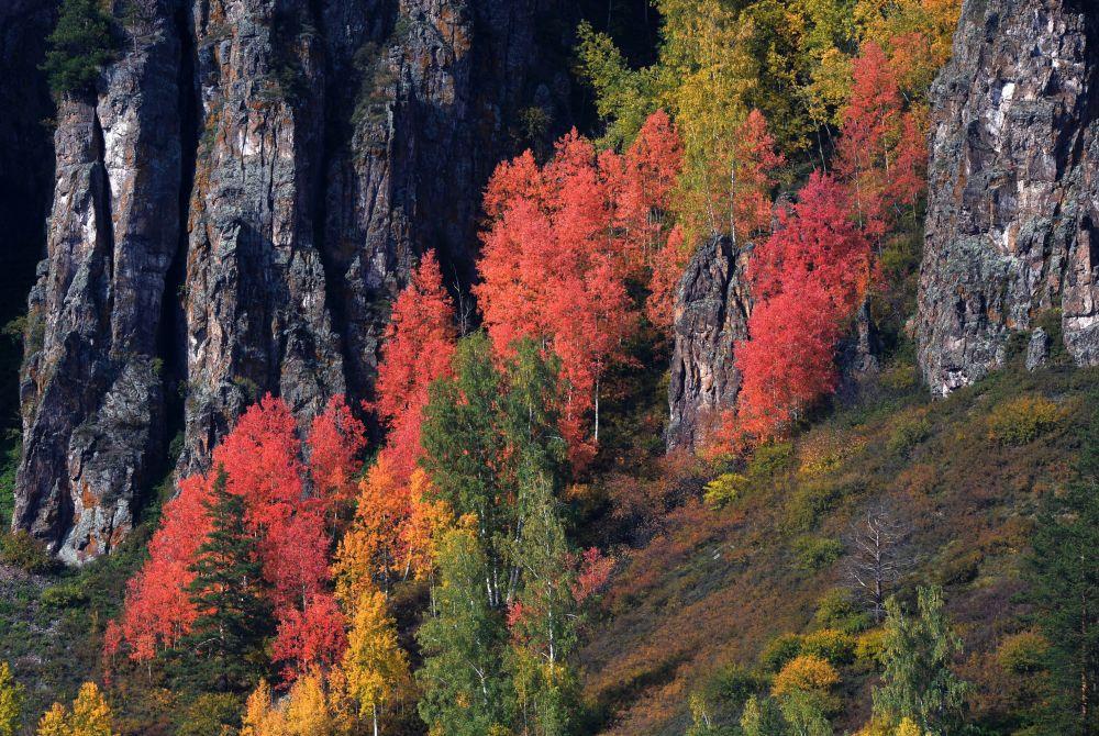 Las syberyjski na skalistym brzegu Jeniseju w rejonie Diwnogorska