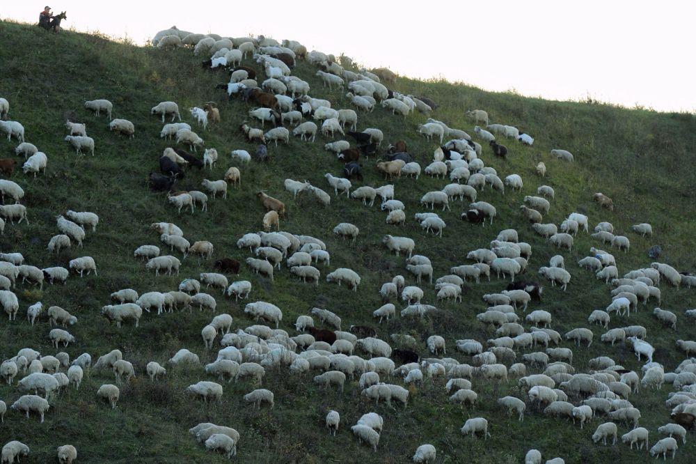Mieszkaniec wsi pasie bydło na wsi Hunzach w jednej z dzielnic Dagestanu