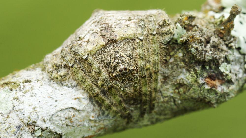 Pająk Dolophones conifera