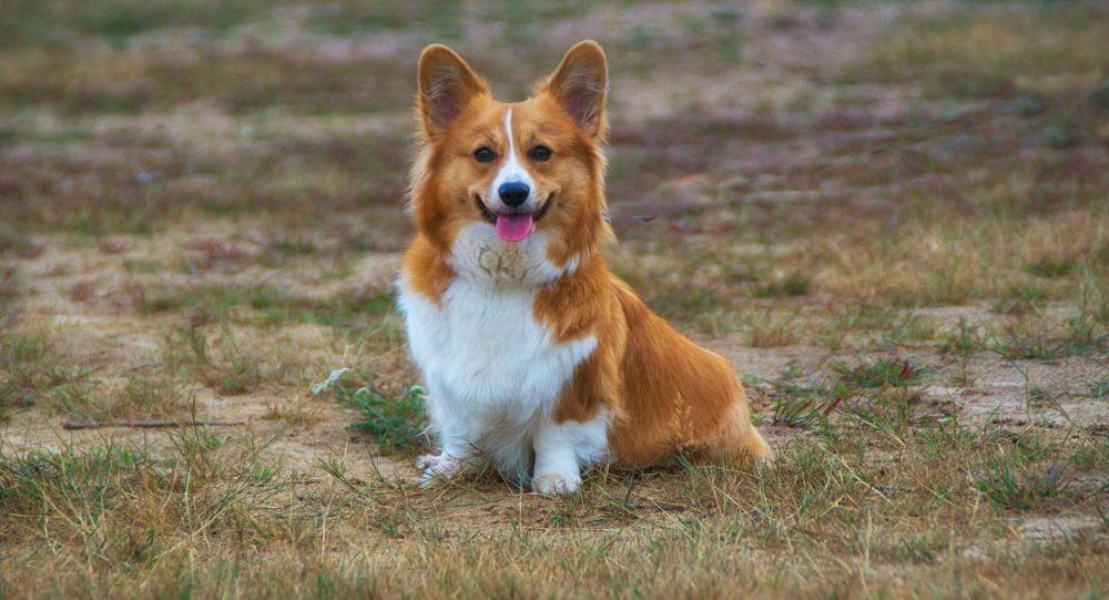 Pies rasy corgi