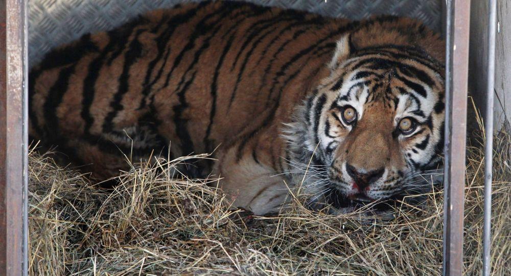 Tygrys w klatce