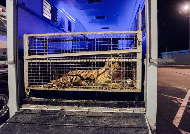 Tygrys w klatce na granicy polsko-białoruskiej