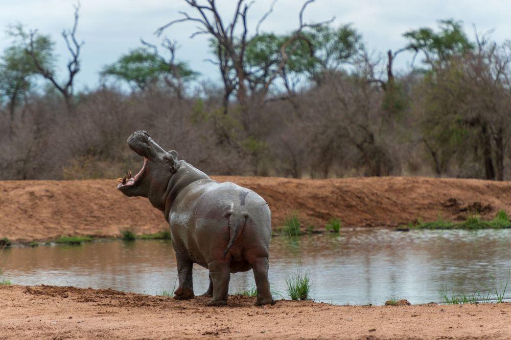 Hipopotam w parku Królestwa Eswatini w Afryce Południowej
