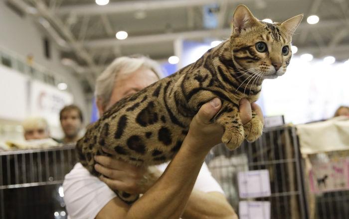 Kot bengalski o imieniu Atilla