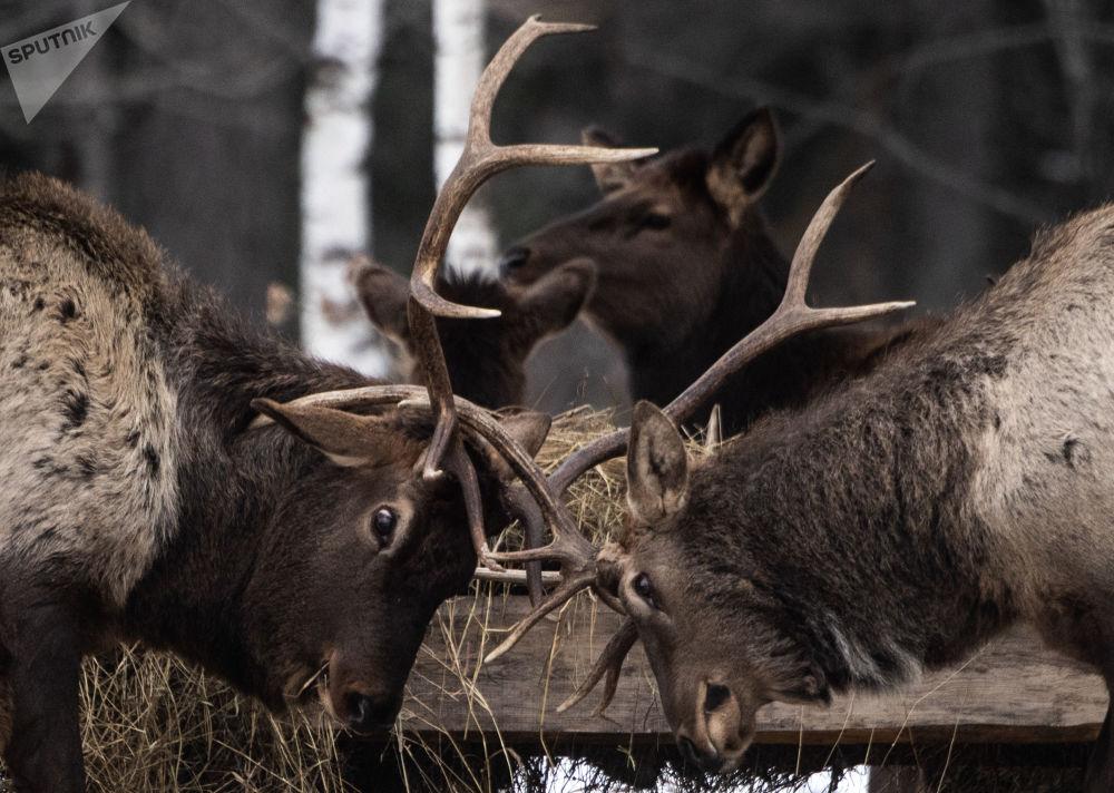 """Jelenie szlachetne w parku narodowym """"Zjuratkul"""""""