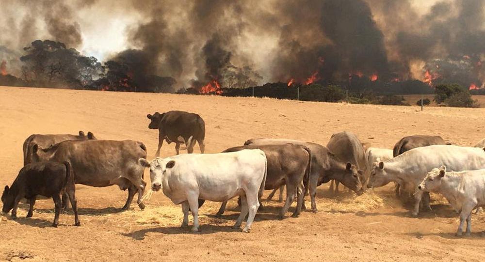 Stado krów na pastwisku podczas pożarów na Wyspie Kangurów, Australia