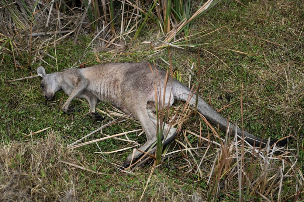 Kangur, który zginął w wyniku pożarów w Australii