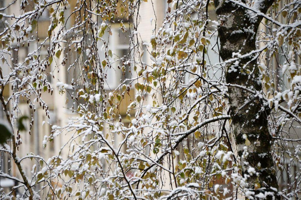 Zaśnieżone drzewa w Moskwie