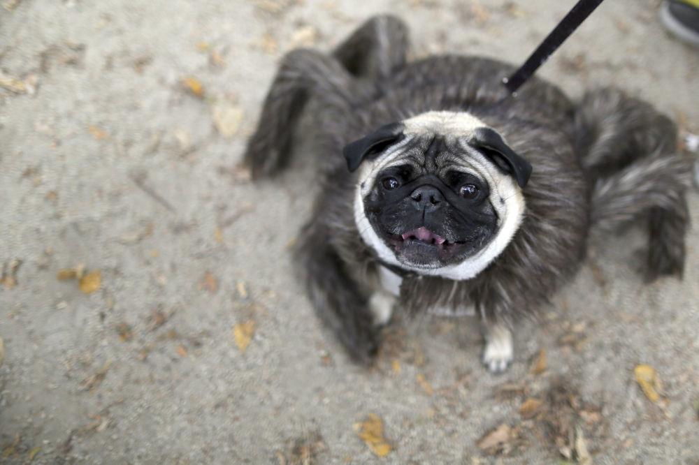 Mops ubrany jako pająk bierze udział w corocznej paradzie psów w Nowym Jorku na Halloween