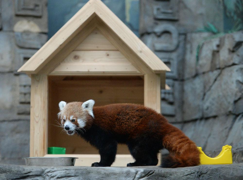 Samiec czerwonej pandy w Moskiewskim ZOO