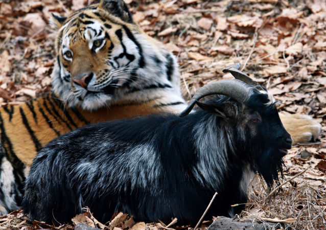 Tygrys syberyjski o imieniu Amur i kozioł Timur w wolierze parku safari w Kraju Nadmorskim. Przez cały rok tygrysy karmione są żywymi zwierzętami, ale kozła Timura tygrys Amur jednak nie zjadł.